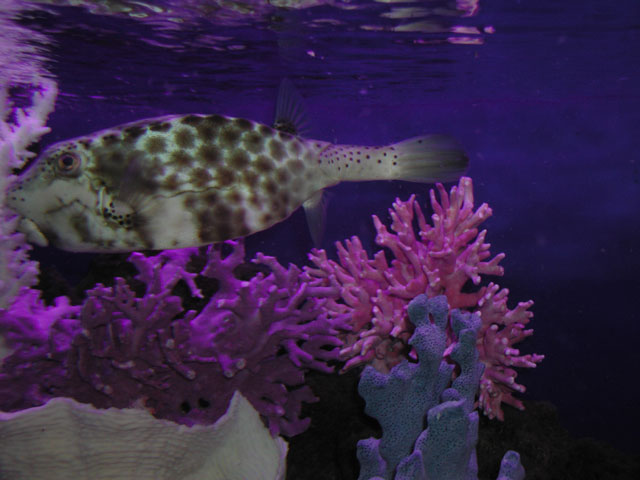 Photo gallery arizona fish guy custom marine aquaria for Puffer fish for sale