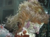 clown-with-anemone