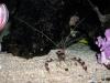 coral-banded-shrimp
