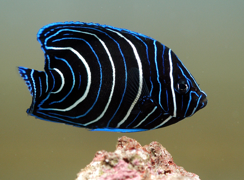 Adult koran angel fish shut your