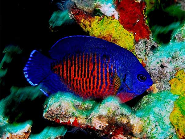 Coral Beauty Angelfish - Arizona Fish Guy - Custom Marine ...