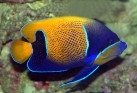 Blue Girdled (Majestic) Angelfish