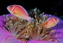 Pink / Orange Clownfish