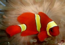 YellowStripe Maroon Clownfish