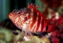 Blood Red Hawkfish