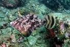 Fan Bellied Filefish