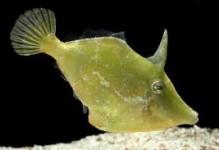 Green Filefish