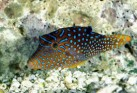 Blue Spotted Puffer