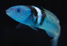 Blueheaded Wrasse