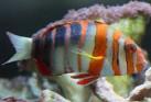 Australian Harlequin Tusk