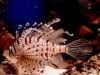 voltion-lion-fish-for-sale