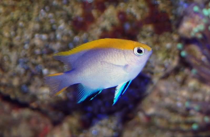 Bluefin damselfish arizona fish guy custom marine aquaria for Blue fin fish