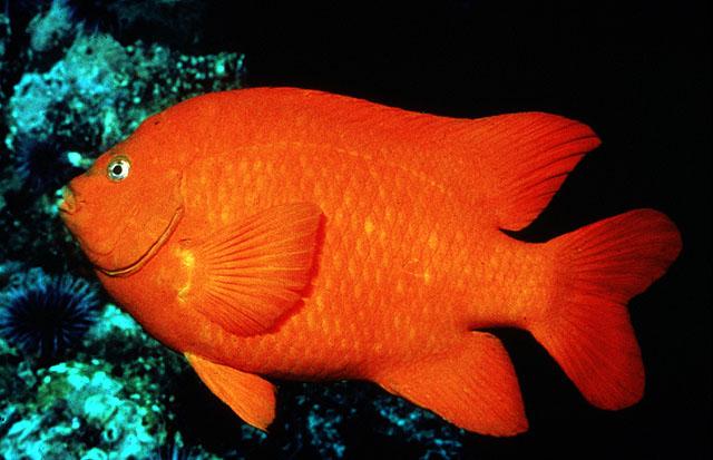 garibaldi-damsel - Arizona Fish Guy - Custom Marine Aquaria