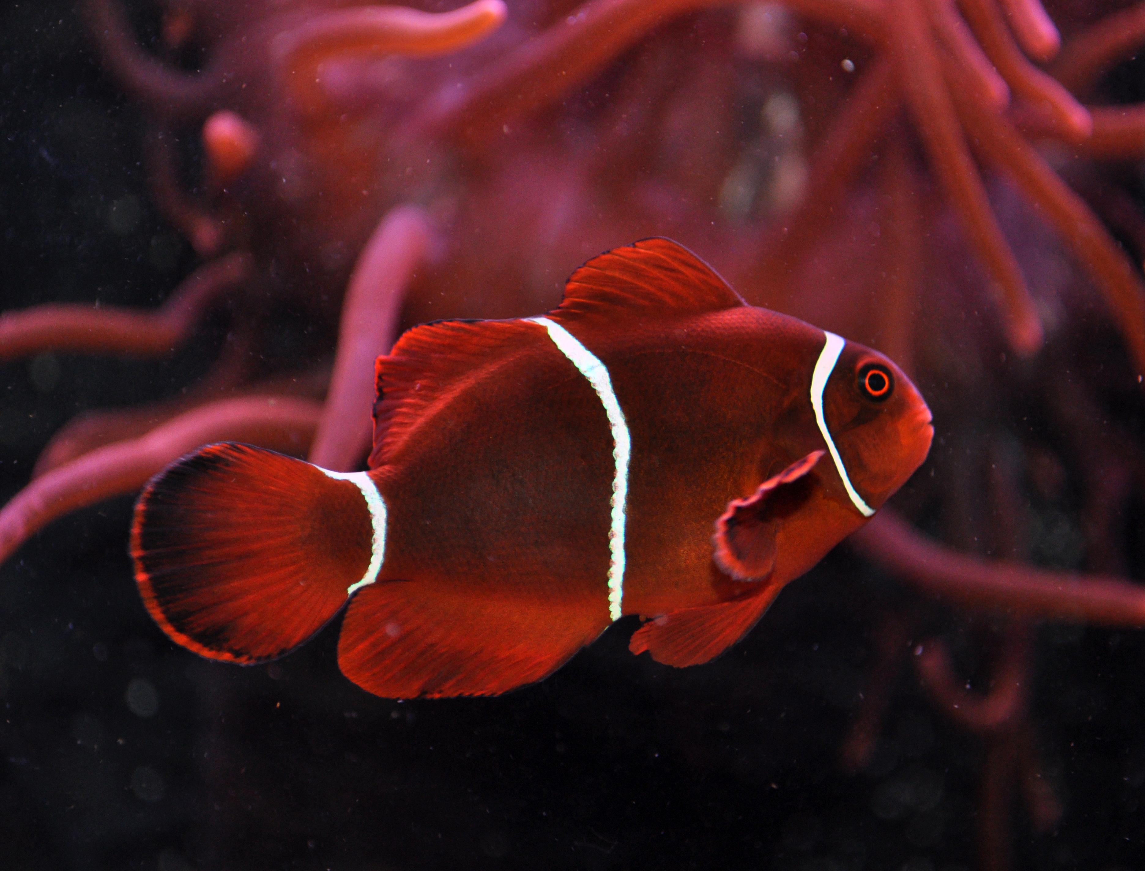 Maroon Clownfish - Arizona Fish Guy - Custom Marine Aquaria