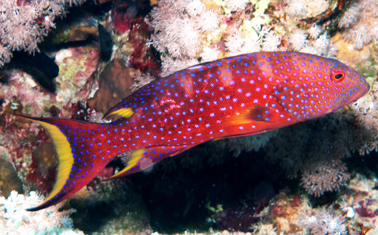 red-louti-grouper - Arizona Fish Guy - Custom Marine Aquaria