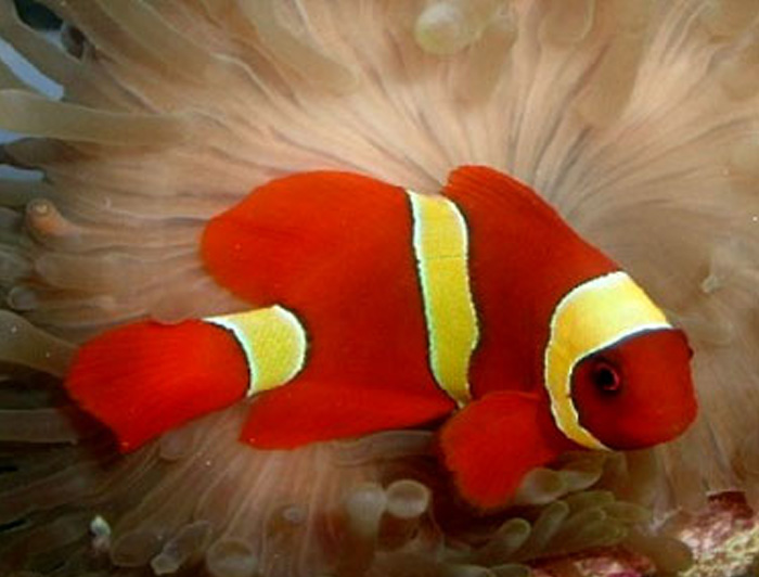 Yellow Stripe Maroon Clownfish
