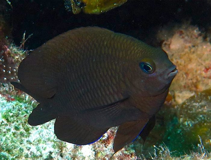Dusky Damselfish