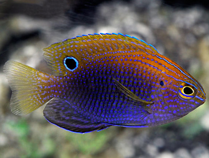 Ocellate Damselfish