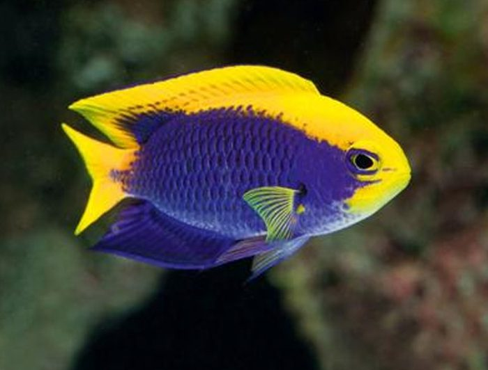 Starck's Damselfish