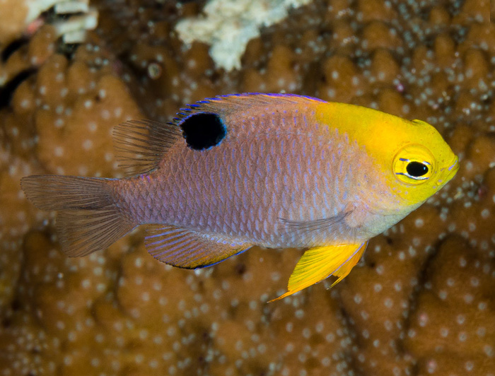 Eye Spot Damselfish