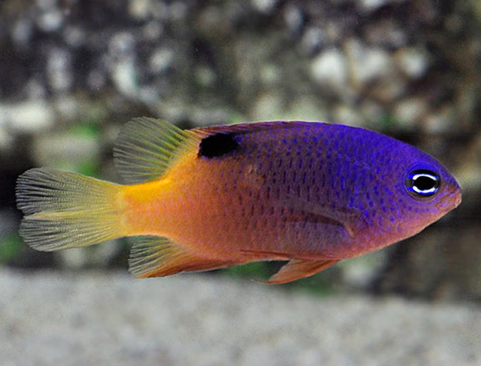 Tracey's Damselfish