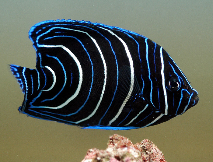 Koran Angelfish (Juvenile)