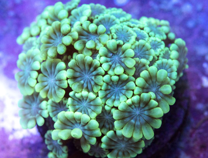 Day Lilly Acropora