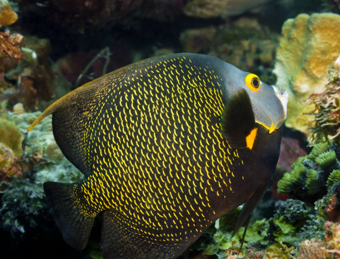 French Angelfish (Adult)