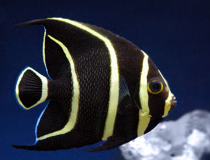 French Angelfish (Sub Adult)