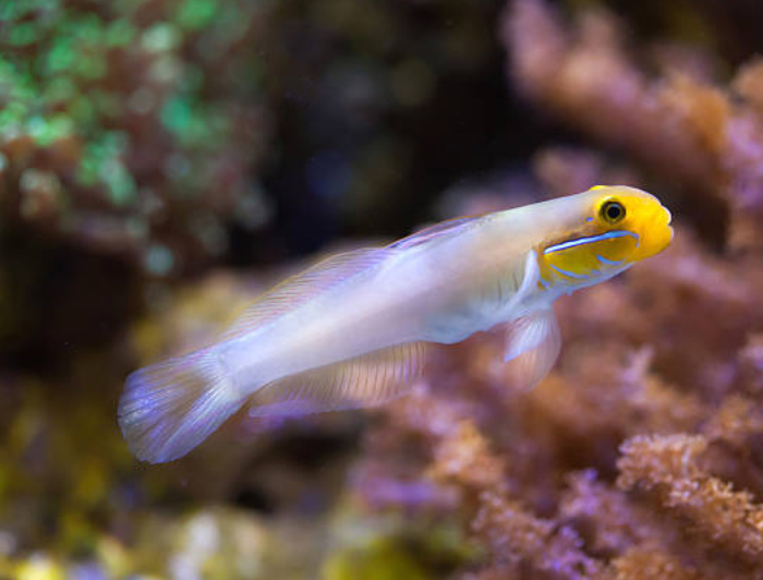 Golden headed sleeper Goby