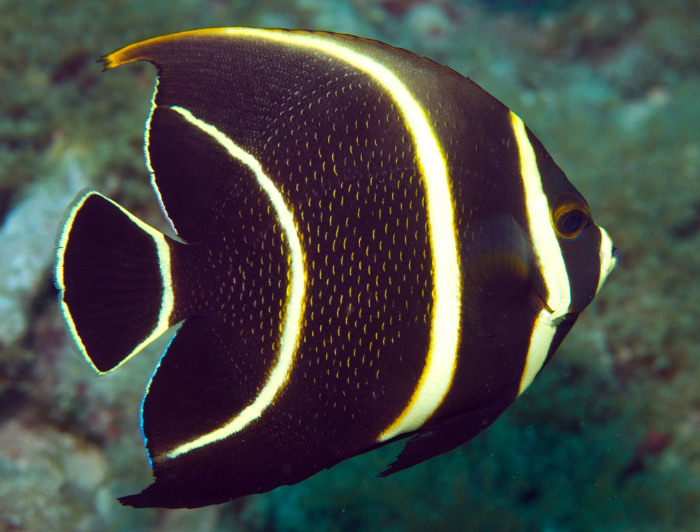 Gray Angelfish (Juvenile)