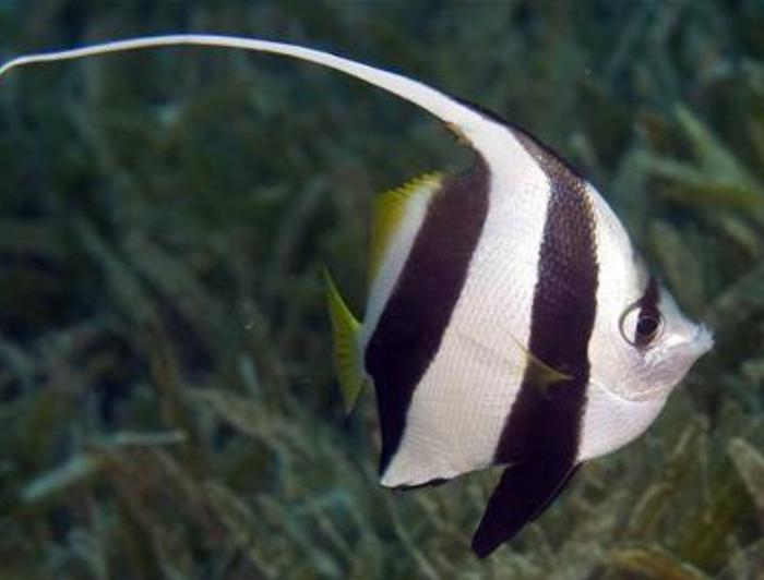 Heniochus Butterflyfish