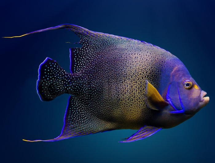 Koran Angelfish (Adult)