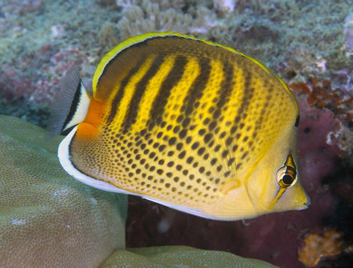 Punctofasciatus Butterflyfish