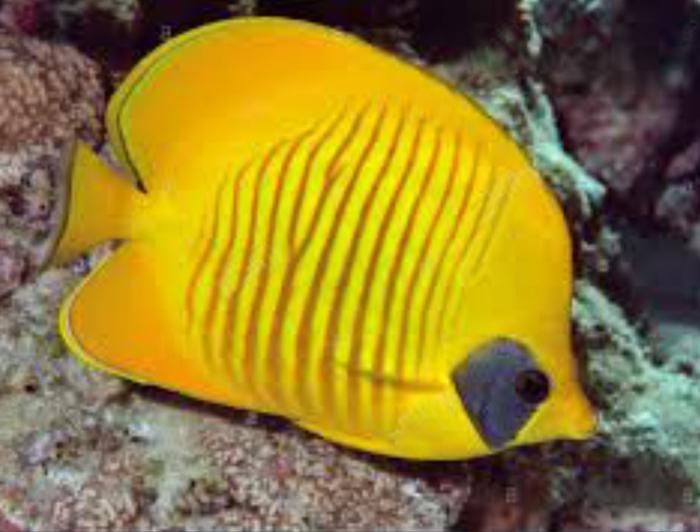 Semi Lavartis Butterflyfish