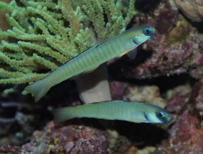 Bar Goby Pair