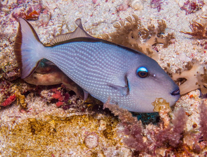 Blue Jaw Triggerfish - Female