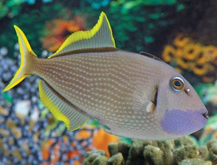 Blue Jaw Triggerfish - Male