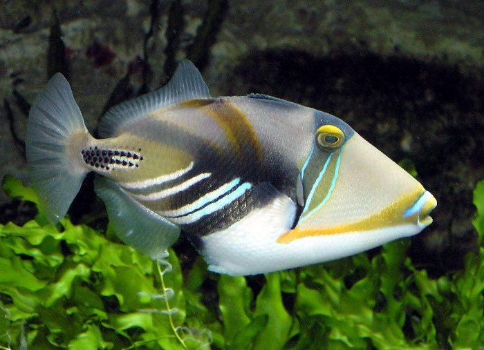 Huma Triggerfish