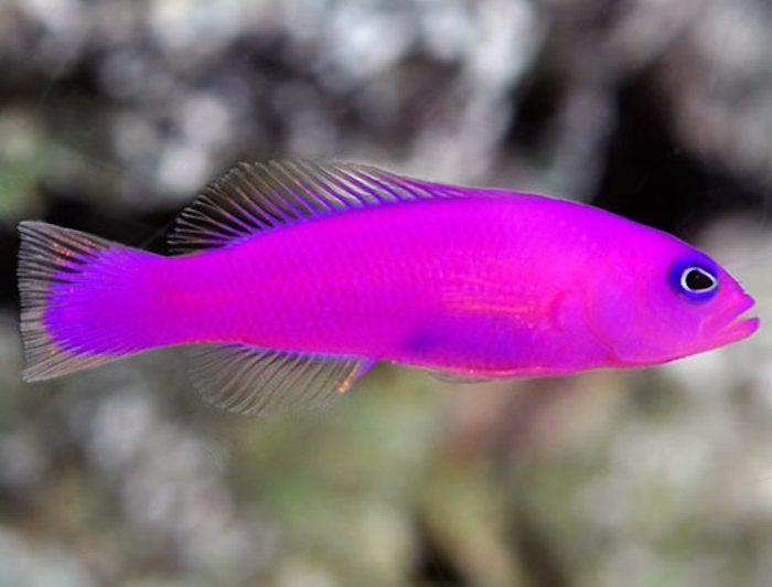 Purple Psuedochromis