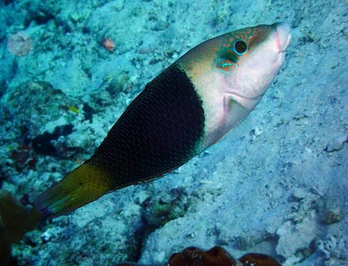 Banner Wrasse
