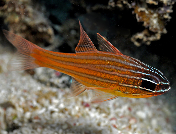 Orange Stripe Cardinalfish