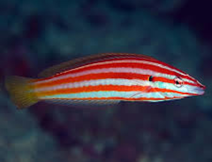 Orange Stripe Wrasse