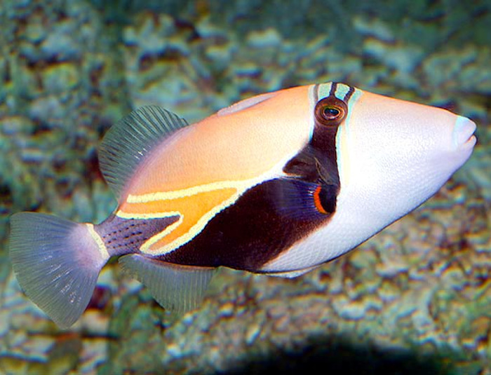Rectangulatus Triggerfish