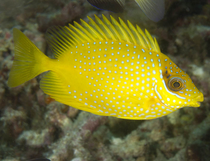Yellow Rabbitfish