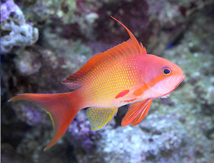 Fiji Lyretail (Squamipinnus) Anthias