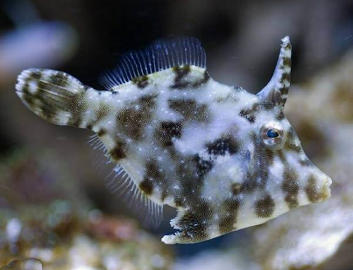 Matted Leatherjacket Filefish