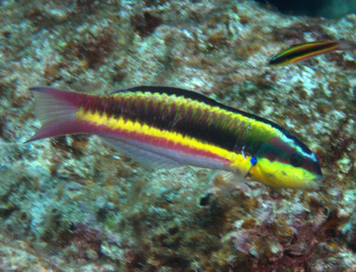 Mexican Rock Wrasse