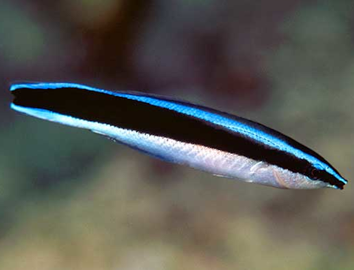 African Cleaner Wrasse