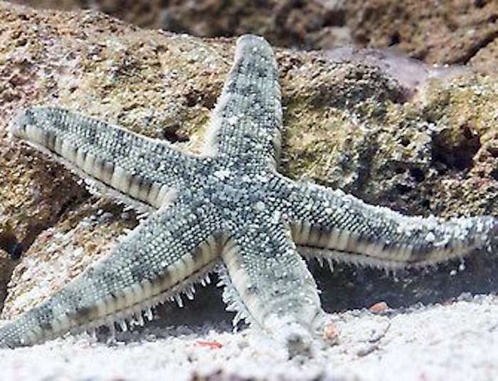 Sand Shifting Sea Star